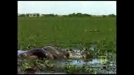 Как ловува анакондата!!