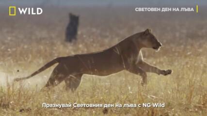 Световен ден на лъва | 10 август