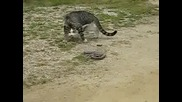Котка срещу змия !