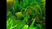 Златните рибки изпълняват желания