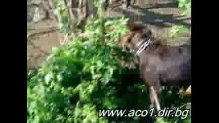 Ловно - Лов, Куче Дратхаар