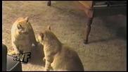 Смешни Котки Се Копират Взаимно