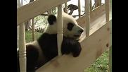 Възхитителни бебета панди си играят