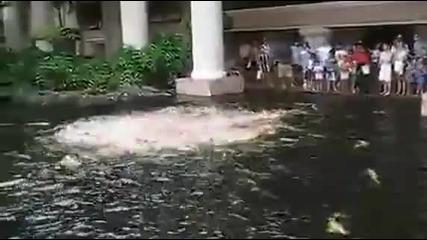 Хранене на пасаж от риби в паркът Koi