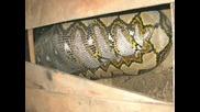 Змия Погълнала Човек