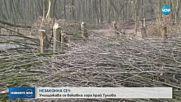НЕЗАКОННА СЕЧ: Унищожава се вековна гора край Тулово
