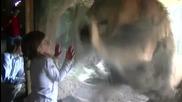 Момиченце лице в лице с лъв от Нова Зеландия