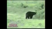 Котка срешу мечка