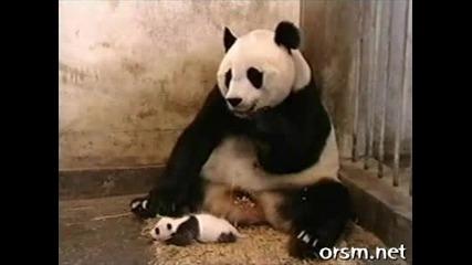 Бебе панда киха. Смях.