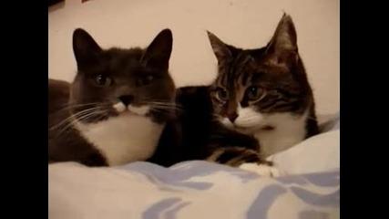 Две говорещи котки