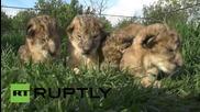 Четири новородени лъвчета в Тайган сафари парк на Кримския полуостров