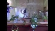 Сеславска пролет - Вълкът и седемте козлета