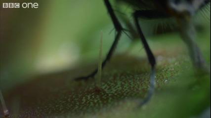 Растение което се храни с мухи