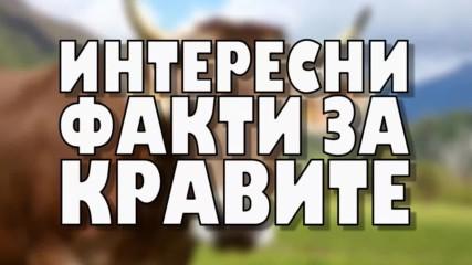 Интересни факти за кравите