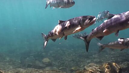 USA: Heat-stressed salmon struggle to survive in Columbia River's record-warm water