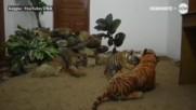 Как три тигърчета се върнаха към живота след смъртта на майка си