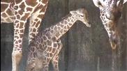 Удивителен момент! Вижте как бебе жираф излиза от тялото на майката!