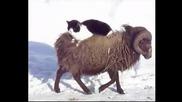 Смях... Котка обича да се разхожда седнала върху пухкав овен
