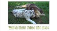 Лъв и бял тигър се забавляват