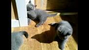 Котетата Си Играят