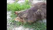 Котка пасе трева