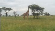 Жираф похапва в Серенгети