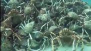 Тайният подводен свят - Рачета се борят на кълбо
