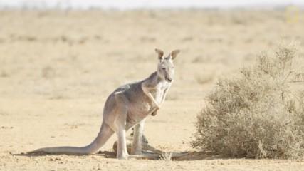 Кенгурутата и оцеляването им в пустинята