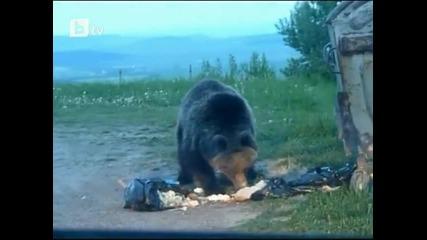 Гладни мечки атакуваха словашко село