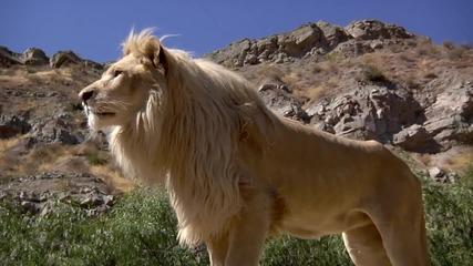 Сладко бяло лъвче Hd
