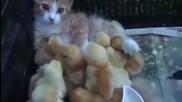 Малки пиленца си мислят че котката им е майка