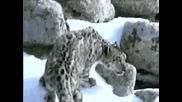 Снежен Барс