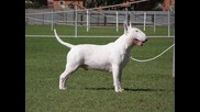 бултериер най - коравата порода кучета