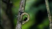 Хищна Хавайска Гъсеница Caterpillar