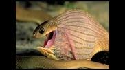 Змия поглъща яйце и го троши в стомаха си