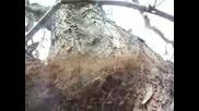 Огромно Гнездо На Дългокраки Паякообразни