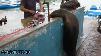 Търговец на риба пази стоката си от крадливи пеликани