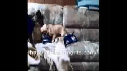 Котка тероризира Френски булдог