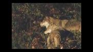 Вълци ( Wolves )
