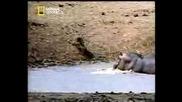 Удивително!!! Хипопотам Спасява Бебе Антилопа От Крокодили (bg Subs)