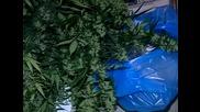 800 саксии с канабис прибраха от ОДМВР гр. Варна