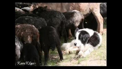 Българско Овчарско Куче