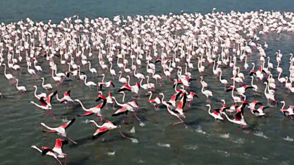 Kazakhstan: Dozens of flamingos rest at Karakol Lake as spring begins
