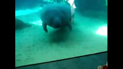 морска крава