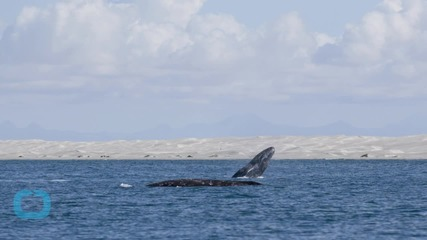 Gray Whale Swims 14,000 Miles and Into the Record Books