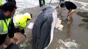 Доброволци спасиха живота на бебе кит
