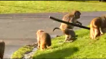 Пазете се от маймуните!!! (: smqxh