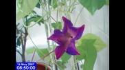 Разцъфване на цвете