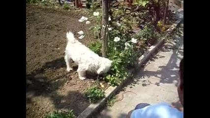 кучета, голди и ричо