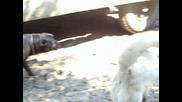 bella cane corso